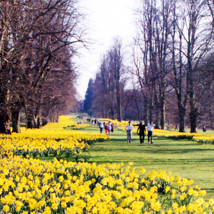 Nowton Park daffodils